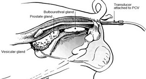 Image 11, location of boar's sexual glands